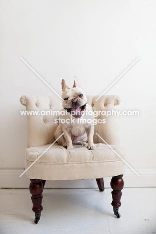 Fawn French Bulldog sitting on matching tan tufted chair, yawning.