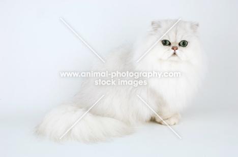 chinchilla cat on white background