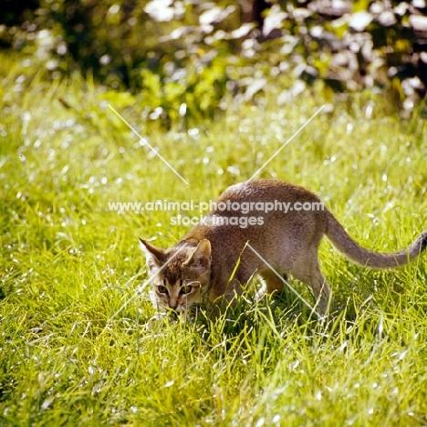 abyssinian kitten crouching in grass