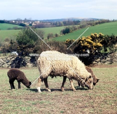 north ronaldsay ewe and lambs at hele farm devon