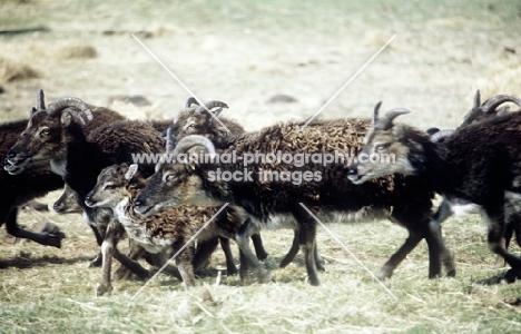 soay ewes and lamb trotting past on holy island, scotland