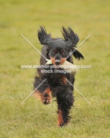Gordon Setter running in grass towards camera