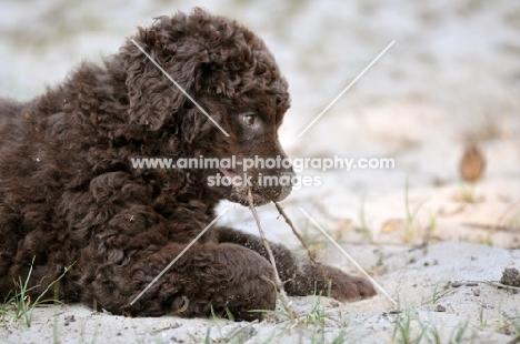 cute Wetterhound puppy