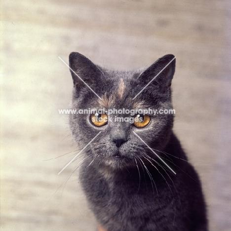blue cream short hair cat, portrait