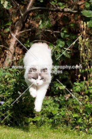 Ragdoll cross Persian jumping through greenery