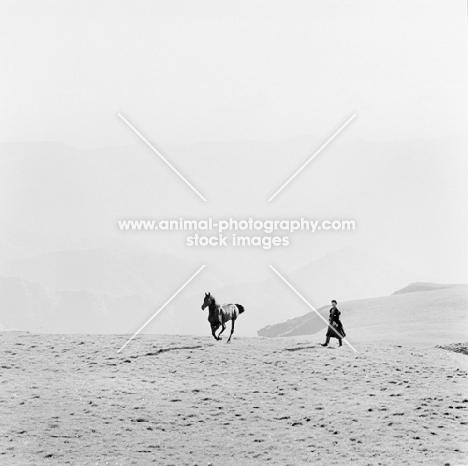 arbich,kabardine stallion at malokarachaev, nr kislovodsk, Caucasus, returning to taboon after photography.