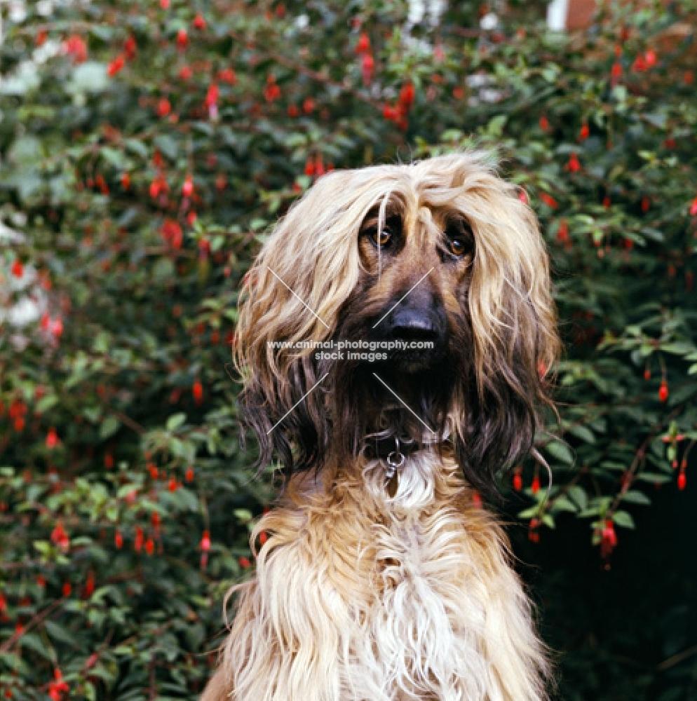 afghan hound, portrait