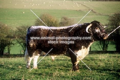 longhorn bull side view