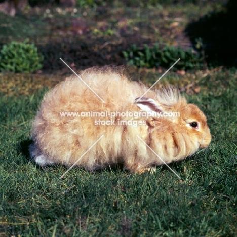 angora rabbit in a garden