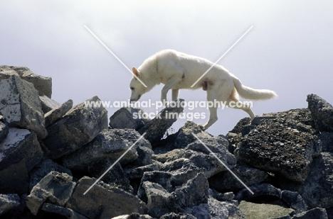 White swiss shepherd, rescue dog on rocks