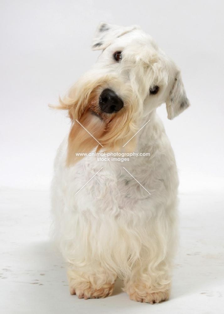 Australian Champion Sealyham Terrier, looking into the camera