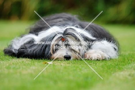 tired Tibetan Terrier