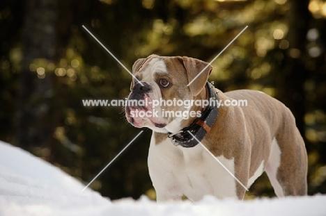 Old English Bulldog looking away