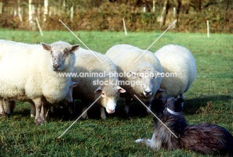 sheepdog herding sheep with sheep watching intently