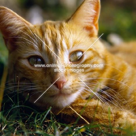 ginger cat, portrait