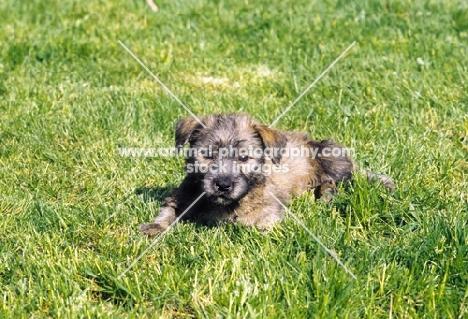 Irish Glen of Imaal Terrier pup