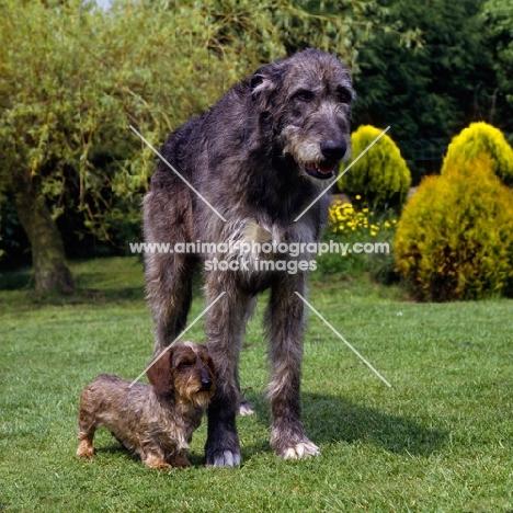 Miniature Irish Wolfhound Pictures
