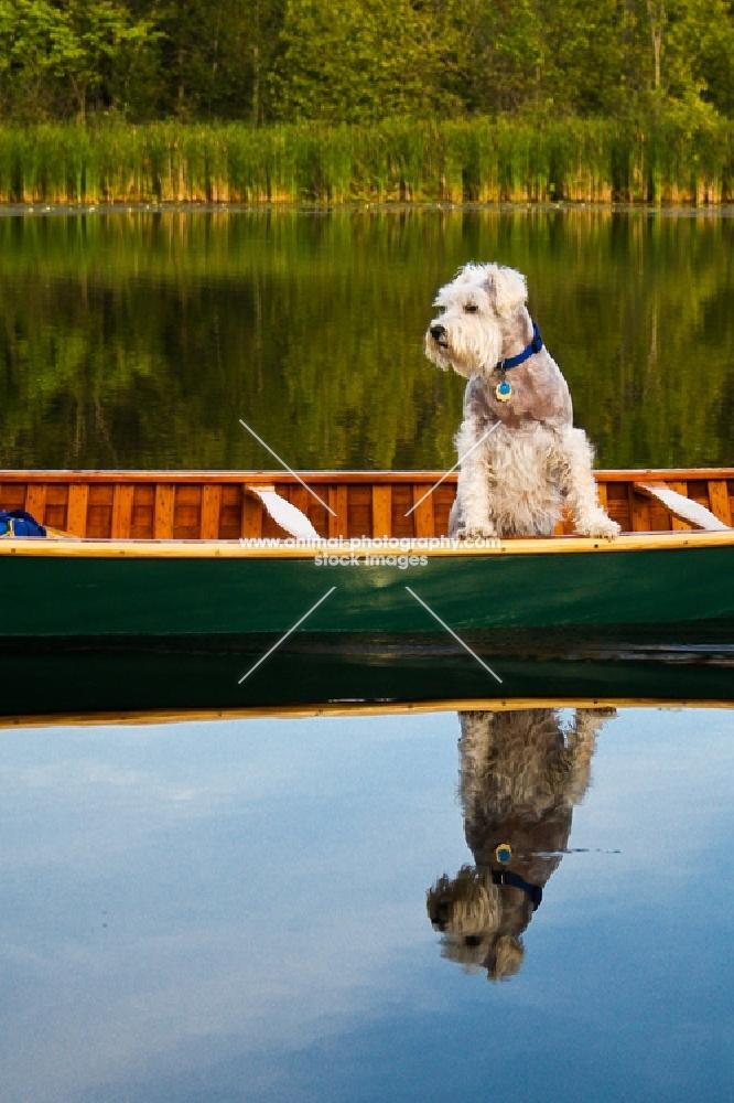 schnauzer riding in canoe