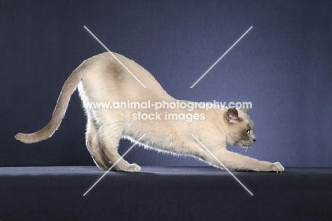 Tonkinese stretching