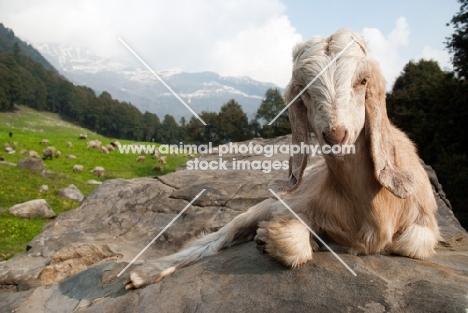 himalayan goat