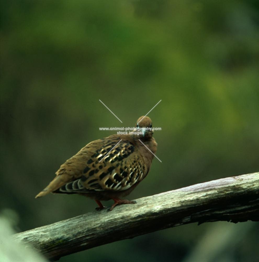 galapagos dove on branch, james island, galapagos islands