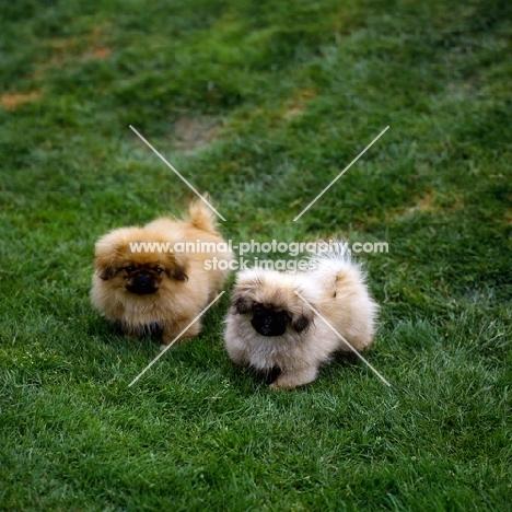 two pekingese puppies