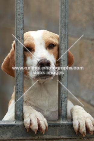 Beagle behind fence