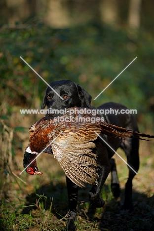 black labrador retriever retrieving pheasant