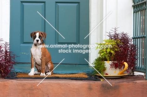 Boxer puppy sitting in front of teal door