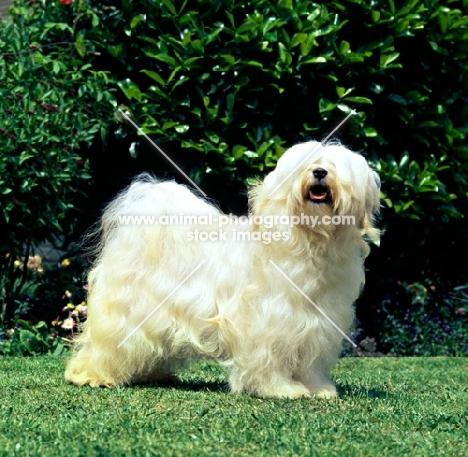 champion tibetan terrier standing