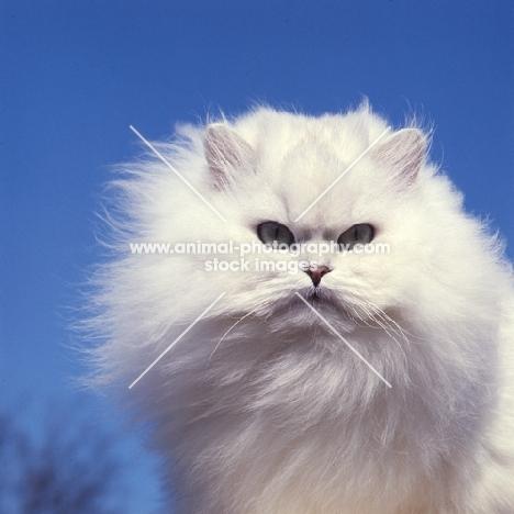 ch bonavia bella maria, chinchilla cat, head study