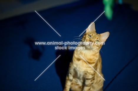 female Bengal cat looking up at camera