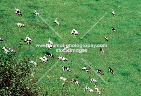 exmoor foxhound pack hunting on a hillside on exmoor