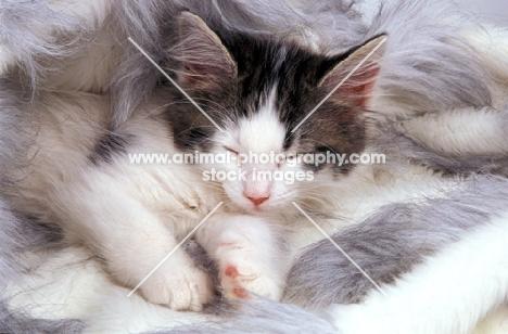 non pedigree kitten sleeping on rug