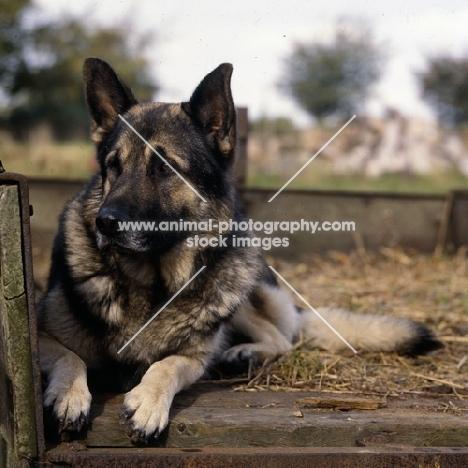 german shepherd dog from druidswood, lying in a hay cart