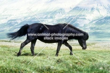 black iceland horse walking over grassy lava at sauderkrokurin, iceland
