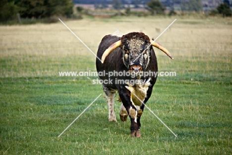 longhorn bull walking towards camera