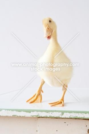 Pekin Duckling looking at camera
