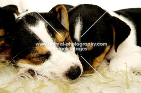 Sleeping Jack Russell puppies