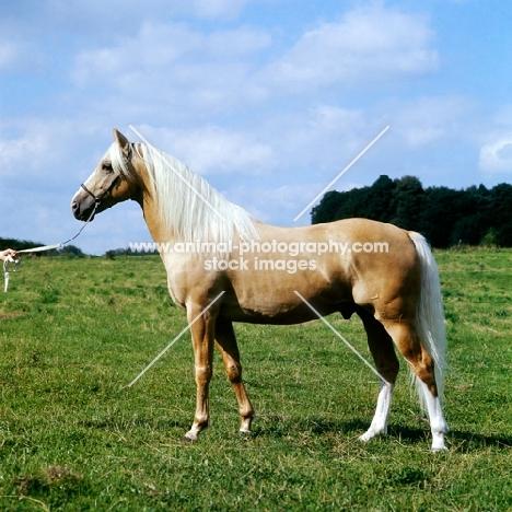 palomino stallion in uk