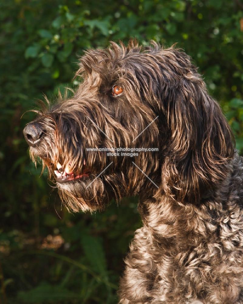 Irish Wolfhound portrait