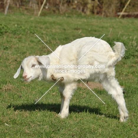 goat scratching