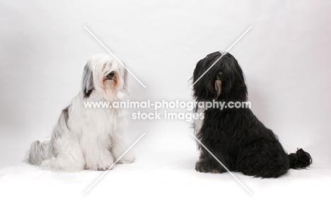 two Tibetan Terriers in studio