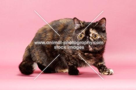 tortoiseshell Exotic Shorthair cat prowling