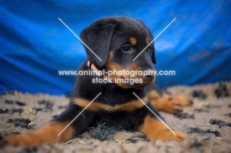 beauceron puppy