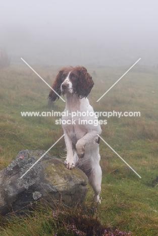 English Springer Spaniel, working type, looking alert