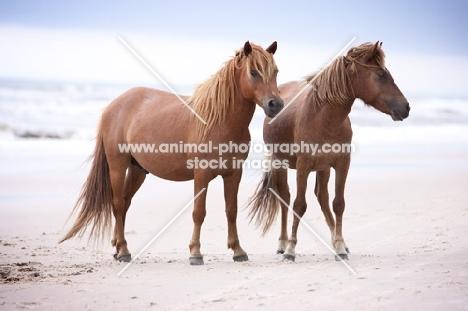 two wild assateague horses on a beach