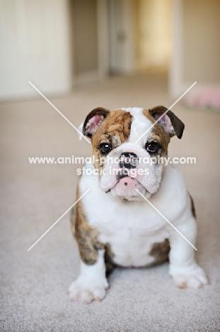 Animal Photography   brindle and white english bulldog puppy