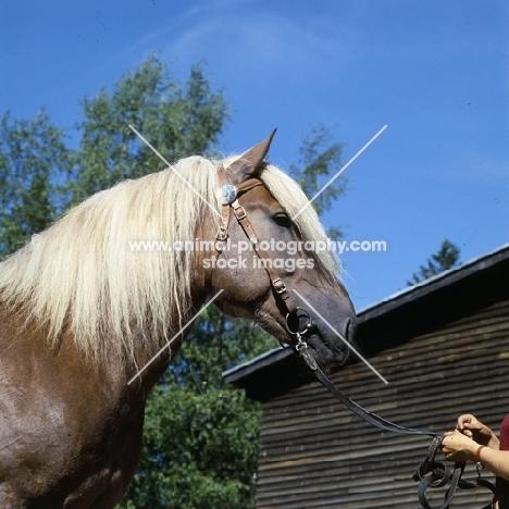 Kajova 6993, Finnish Horse at Ypäjä, head study
