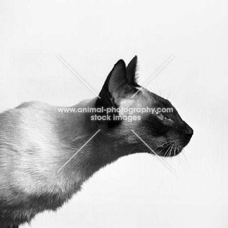 seal point siamese cat, head study in profile